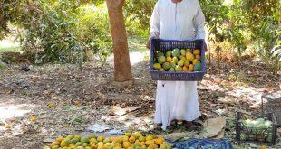أسعار المانجو في نجع حمادي